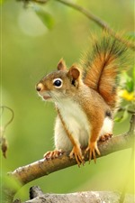 Preview iPhone wallpaper Squirrel, tree, green leaves, twigs