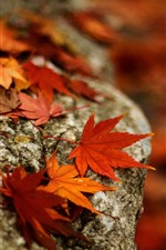 Stone, red maple leaves, autumn
