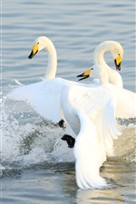 Three white swans in lake, water splash
