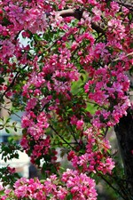 Árvore, flores cor de rosa, primavera