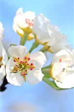 Preview iPhone wallpaper White apple flowers bloom, spring, sky