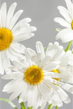 Preview iPhone wallpaper White daisies, petals, gray background