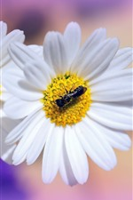 Preview iPhone wallpaper White daisies, petals, insect
