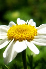 Preview iPhone wallpaper White daisy, yellow pistil