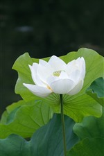 Preview iPhone wallpaper White lotus flower, green foliage