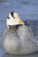 Preview iPhone wallpaper Wild duck, gray feather, lake, water