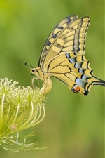 Preview iPhone wallpaper Yellow butterfly, wings, flowers