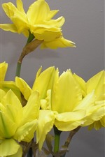 Yellow daffodils, flowers, petals