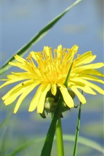Yellow dandelion flower, pond