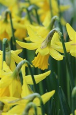 Preview iPhone wallpaper Yellow narcissus flowers, stems