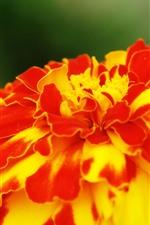 iPhone обои Желтые красные лепестки цветка крупным планом