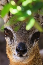Preview iPhone wallpaper Antelope, look, nose, eyes, leaves