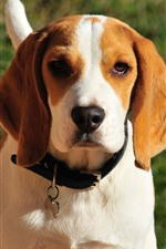Preview iPhone wallpaper Beagle dog, front view, face, hazy background