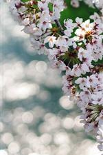 iPhone壁紙のプレビュー 美しい桜の花が咲く、小枝、春、かすん