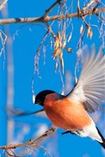 Oiseau, vol du Bouvreuil, ailes, plantes