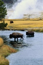 Preview iPhone wallpaper Bison, trees, grass, river, wildlife