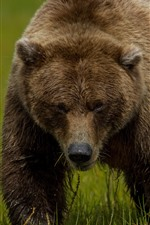 Preview iPhone wallpaper Brown bear, grass, green