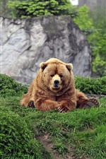 Preview iPhone wallpaper Brown bear sit on ground, grass