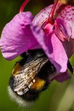 Preview iPhone wallpaper Bumblebee, pink flower