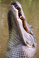 Preview iPhone wallpaper Crocodile take head up
