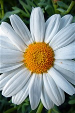 Preview iPhone wallpaper Daisy, white petals