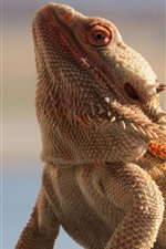 Preview iPhone wallpaper Dragon lizard, scales
