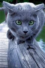Preview iPhone wallpaper Gray cat, green eyes, face, fence, lake, park