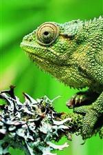 Green chameleon, green background