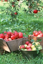 Preview iPhone wallpaper Harvest, fruit, ripe red apples