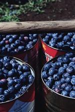 Harvest, many blueberries, bucket