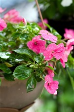Preview iPhone wallpaper House plants, pink flowers, water droplets