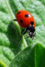 Preview iPhone wallpaper Insect, red ladybug, green leaf