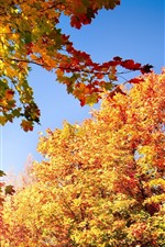 Maple trees, yellow leaves, sky, autumn