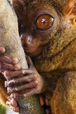 Preview iPhone wallpaper Monkey, tarsier