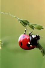 Preview iPhone wallpaper One red ladybug, grass