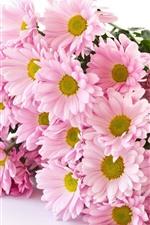 Pink chrysanthemum, bouquet, white background