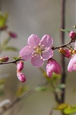 Pink peach flowers bloom, twigs, spring