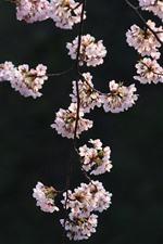 iPhone壁紙のプレビュー ピンクの桜、小枝、花、春