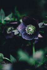 iPhone обои Фиолетовые цветы, зеленые листья, темнота
