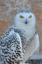 Preview iPhone wallpaper Snowy owl, bird