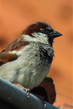 Preview iPhone wallpaper Sparrow, bird, stay