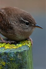 Preview iPhone wallpaper Sparrow, stump, moss