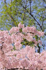 Spring, pink flowers bloom, trees