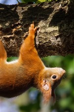Preview iPhone wallpaper Squirrel climb tree, wildlife