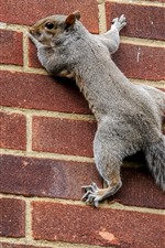 Preview iPhone wallpaper Squirrel climbing wall