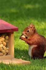 Preview iPhone wallpaper Squirrel, food, peanut, grass