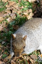 Preview iPhone wallpaper Squirrel on ground, tail