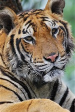 Preview iPhone wallpaper Tiger, look, eyes, face, wildlife