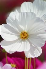 White kosmeya flower close-up, petals