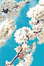 Preview iPhone wallpaper White sakura, flowers bloom, twigs, blue sky, spring